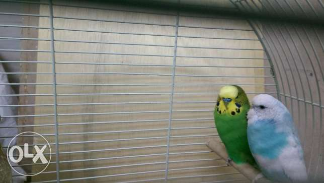 Birds for sale with big cage
