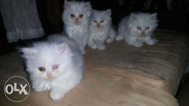Shiraz Cats for Sell