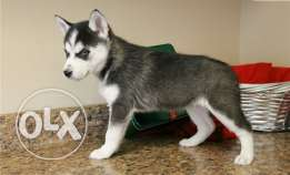 Super Siberian Husky Puppies for free