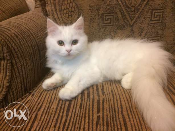 female cat 4 months الريان -  4