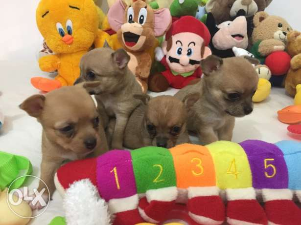 SUPER SALE PROMO/ Smallest tiny chihuahua puppy مطار الدوحة -  2