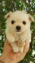 Chihuahua puppies teacup size long coat 55 days old