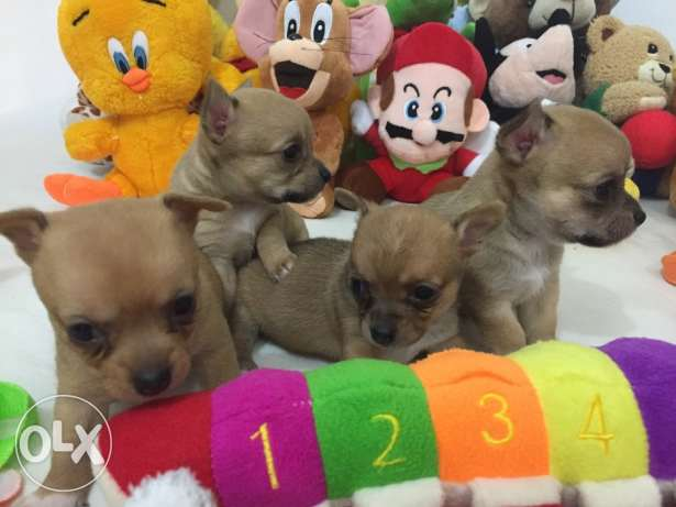 SUPER SALE PROMO/ Smallest tiny chihuahua puppy مطار الدوحة -  7