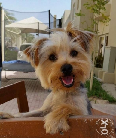 Yorkshire Terrier brought from France and raised in our family