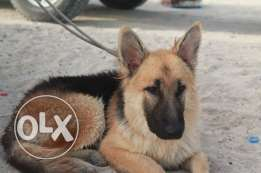 a pure German Shepard for sale