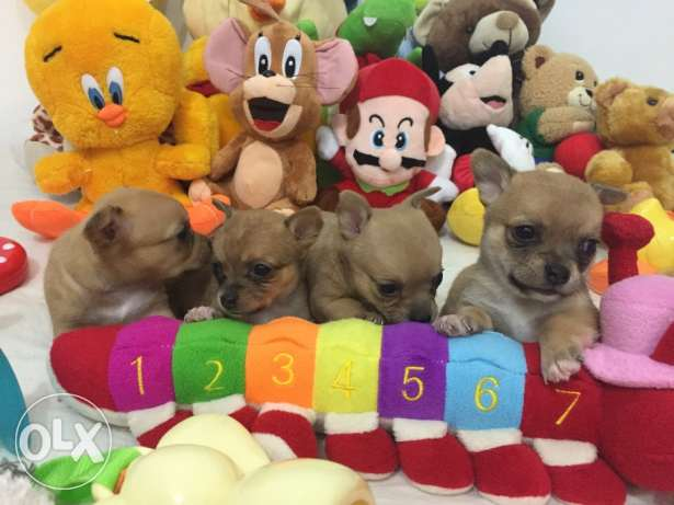 SUPER SALE PROMO/ Smallest tiny chihuahua puppy مطار الدوحة -  1