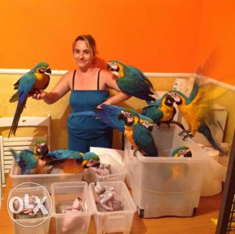Baby Blue and Gold Macaws
