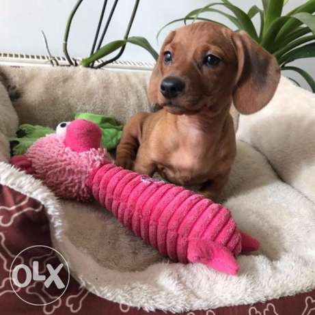 cute daschound puppies for new homes