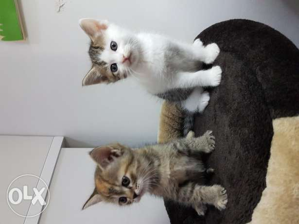 Cyberian Angora Mix pair of Kittens for fee adoption