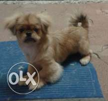 Small type Pekingese for sale